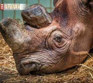 Riesig, bewaffnet und doch bedroht. In ihrer Heimat sind Nashörner akut vom Aussterben bedroht. Spitzmaulnashorn-Dame Tsororo trägt zur Arterhaltung bei.