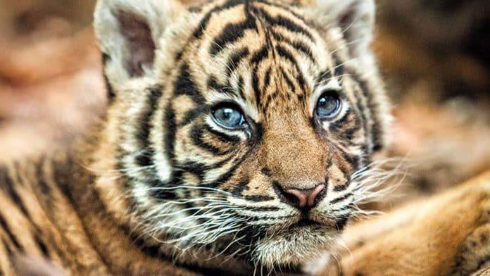 Sumatra-Tiger-Mädchen Berani im Zoo Frankfurt