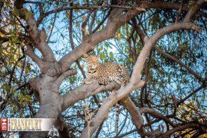 Die fleischgewordene Anmut - ein Leopard im Chobe Nationalpark