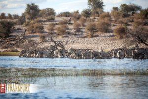 Trinkende Zebras am Boteti River