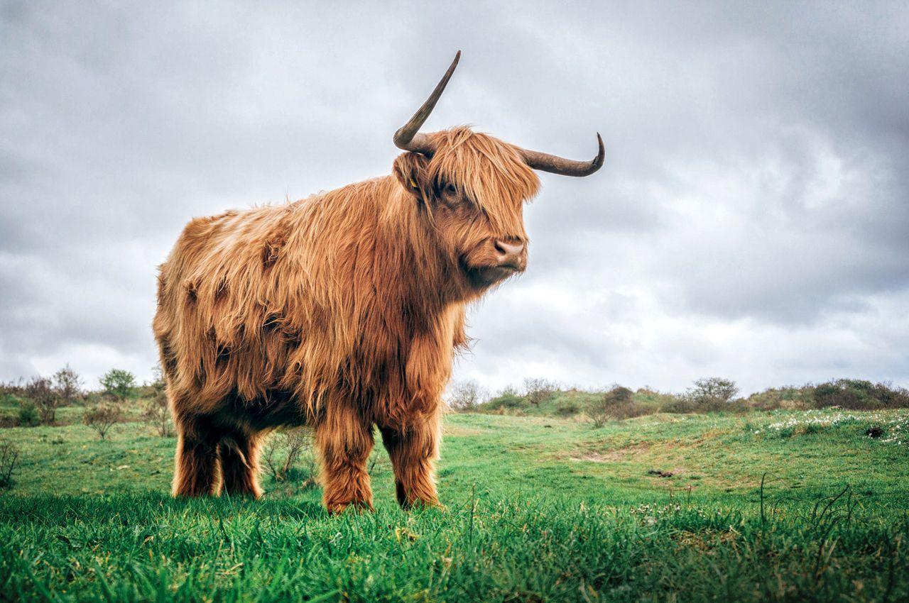 Ein schottisches Highland Cattle