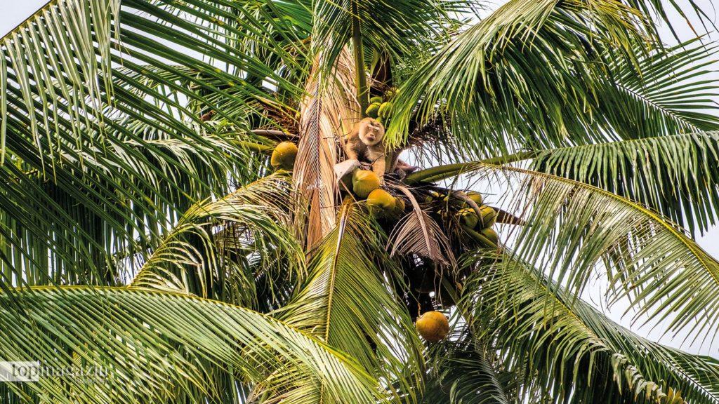 Ein Affe bei der Kokosnussernte auf Koh Samui