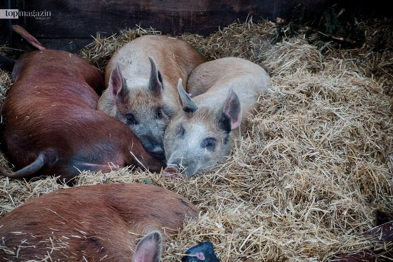 Schweinehaltung auf dem Dottenfelder Hof