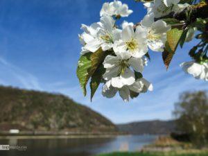 Von Mittelrhein-Kirschen gibt es mehr als 80 Sorten