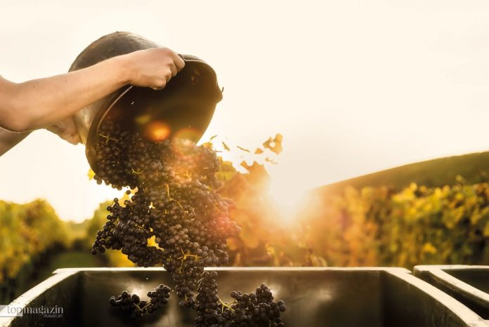 Kunst und Professionalität - Deutscher Wein hat riesige Fortschritte gemacht