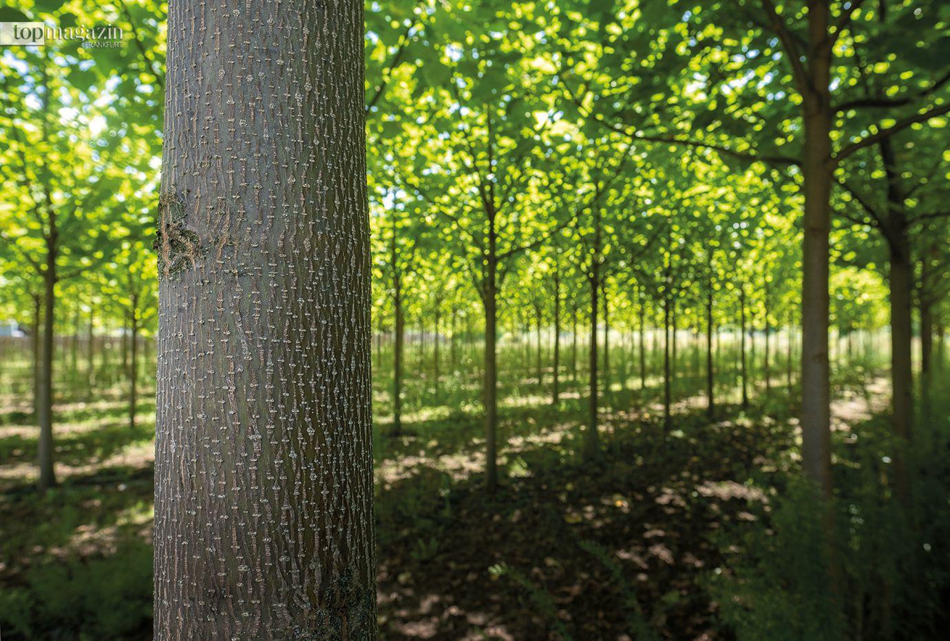 Auch das Investment in Holz kann ein nachhaltiger Beitrag zum Klimaschutz sein. Diese Versuchsplantage mit schnell wachsenden Kiribäumen steht in Frankfurt-Oberrad.