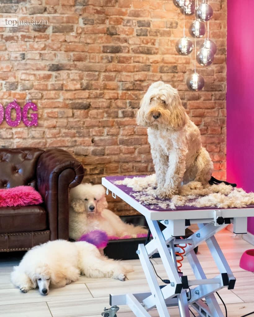 Die Pudel Olivia und Valentino haben den Hundesalon ihres Herrchens im Blick, während Stammkunde Cockapoo Leo sich ganz cool einen Kurzhaarschnitt verpassen lässt