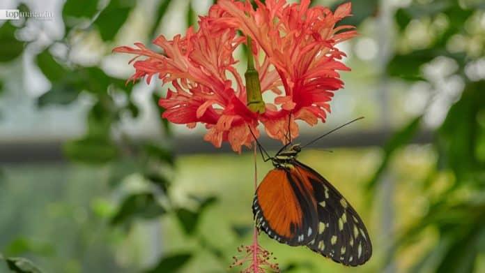 Insgesamt umfasst das Blüten- und Schmetterlingshaus im Palmengarten über 60 verschiedene Exemplare (Foto: Palmengarten Frankfurt)